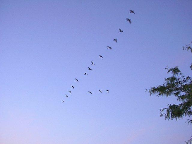 Swansandgeese